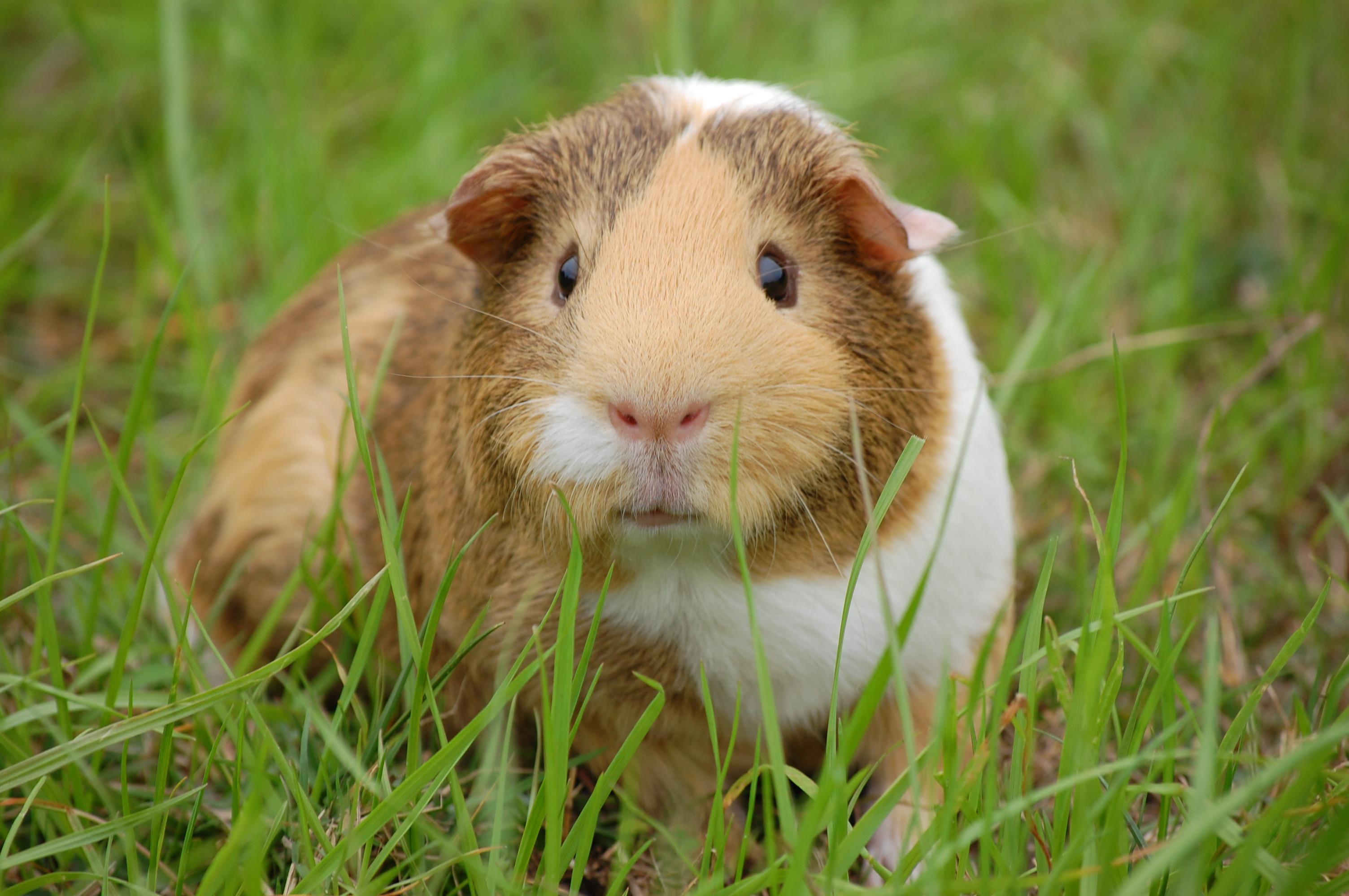 Guinea Pig Clicker Training Kit