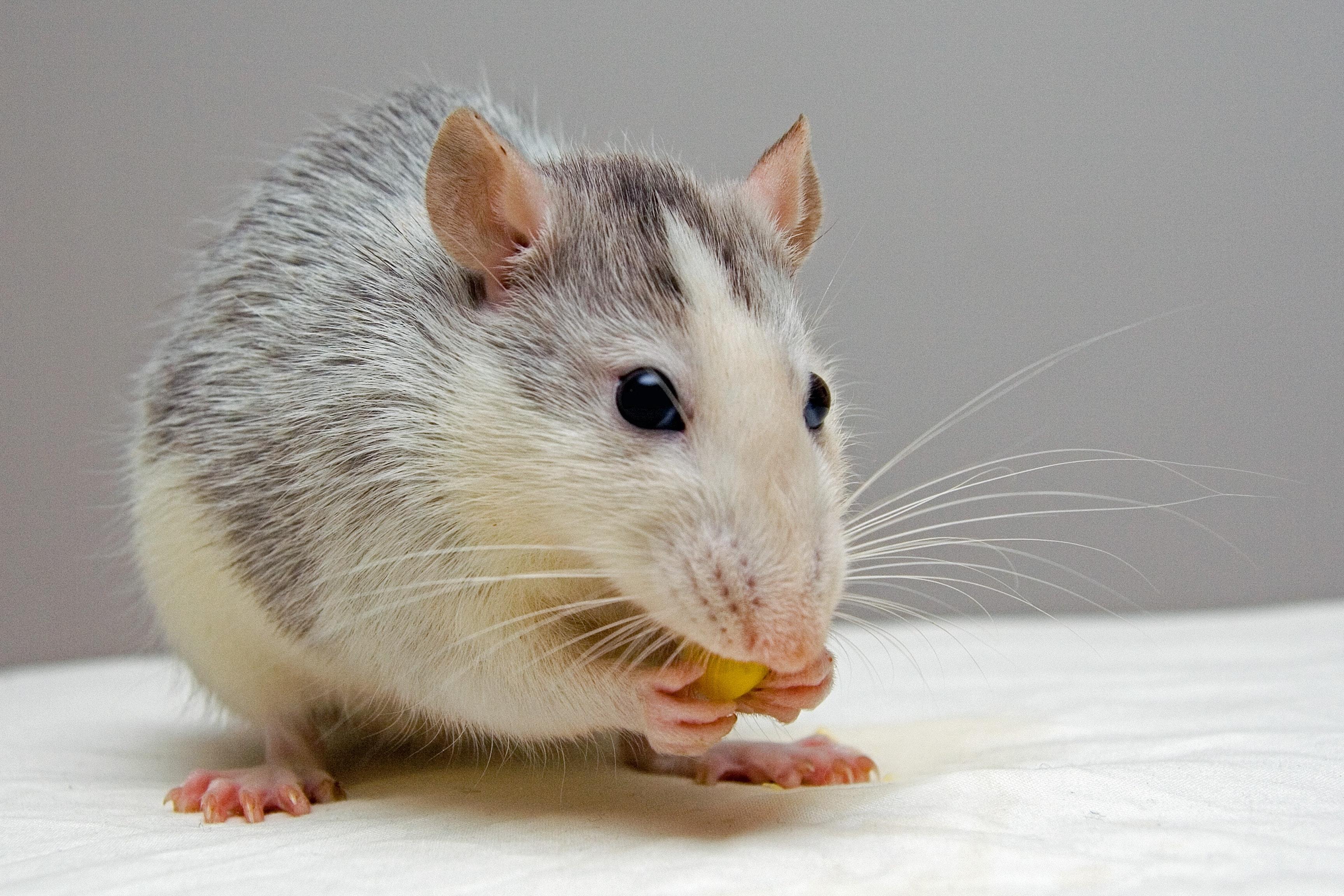 Rat Clicker Training Kit